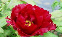 牡丹 墨流し深い暗紅色の花色は、マニアからの支持絶大です!牡丹 墨流し【黒花系ボタン】