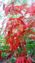 スズランの木  3.5号ポット世界三大紅葉樹のひとつです♪耐寒性・耐暑性に優れた育てやすい木です!スズランに似たお花はとってもいい香り!スズランの木  3.5号ポット