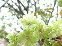 桜の苗【御衣黄桜】 3.5号ポット緑色の桜!ボリューミーな八重咲き種です♪ご自宅で春を感じられる贅沢