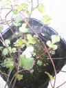 ワイヤープランツ【スペード】 3号ポット珍しい葉がスペードの形をした品種です!寄せ植え・グランドカバー・観葉植物に・・・ワイヤースペード 3号ポット
