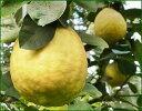 ジャンボレモンの苗 巨大な果実はインパクトたっぷり!通常のレモンよりもマイルドな酸味♪結実しやすい品種ですジャンボレモンの苗