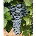 【山ブドウ】ヤマソービニオン 5号ポット自分で育てたぶどうで自家製ワインを作ってみませんか??日本自生のヤマブドウと、最高級ワイン用ブドウのカベルネ・ソヴィニョンを交配して育成した日本固有品種です【実無し】【やまぶどう】【山葡萄】