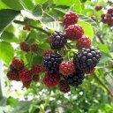 ジャンボブラックベリー あみ 3.5号ポット従来品種より酸味が減り、甘くまろやかな風味とげなしブラックベリー メルトントロンレスの枝変わり種です♪ジャンボブラックベリー あみ の苗  3.5号ポット 【木イチゴ】