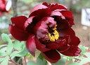 牡丹光沢のある黒紅色の八重咲き品種♪花が開くほどに黒い色に深まります!牡丹初烏 【黒花系ボタン】