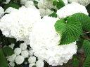 オオテマリ【落葉状態です】白くてボリュームのあるお花がお庭を...