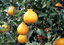 不知火【デコポン】 3.5号ポット甘くて果汁たっぷり!柑橘の...