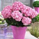 ガーデン・ハイドランジア【ミスサオリ】 3号ポットチェルシーフラワーショーにてプラントオブザイヤー2014受賞八重咲の花の白地の花びらに濃いピンクの覆輪が入ります♪【ミスサオリ】 3号ポット【アジサイ】