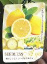 種なしレモンの苗【シードレスあや】4号ポット トゲが非常に短小で少なく、丈夫で育てやすい品種です!ジューシーで香り深く、レモンらしい味わい!温度があれば四季咲き開花となりますたねなしレモン シードレスあや 4号ポット