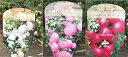 大実ハッピーベリー 3号ポット【ぺルネチア】スズランのようなベル型のお花とぷっくり膨らんだ実がかわいい♪大実ハッピーベリー【ぺル..