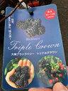 大実ブラックベリー トリプルクラウン 3.5号ポット苗風味・生産性・樹勢の3つが優れていることから名づけられたバランスのよい品種半立性でとげなし、樹勢も旺盛で育てやすいジャンボブラックベリー 果樹苗 木イチゴ 木苺 キイチゴ ラズベリー