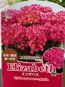 ガーデン・ハイドランジア【エリザベス】 3.5号ポット今までにないほどの濃く、華やかなローズピンクの完全八重花をお楽しみいただけます♪アジサイ あじさい 紫陽花 ガーデニング 庭木 ユーミープリンセスシリーズ プリンセスライン