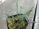 【ハーブ】ペレニアルフラックス ブルー ブルーの花がさわやかなハーブ!種はお風呂に浮かべてハーブバスに♪ペレニアルフラックス ブルー 3号ポット 【花ハーブとカラーリーフ】