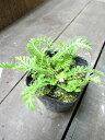 【ハーブ】ヤロウ【ワイルド】植物の病気を癒す効果があります♪植物にも人にも優しいハーブヤロウ【ワイルド】  3号ポット 【ノコギリソウ】【ティー向けハーブ】