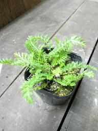 【ハーブ】ヤロウ【ホワイト】植物の病気を癒す効果があります♪植物にも人にも優しいハーブヤロウ【ホワイト】  3号ポット 【ノコギリソウ】【ティー向けハーブ】