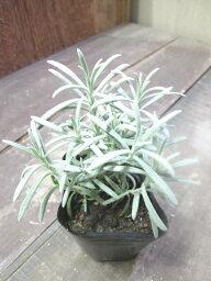 【ハーブ】アラビアンナイトラベンダー成長が早く、香りの強い品種です!ポプリや、花束にするのがぴったり☆アラビアンナイトラベンダー 3号ポット 【ラベンダー】