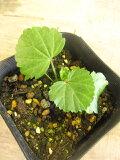 【ハーブ】マシューマロウマロウの中でも特に薬効の高いハーブです!!若葉はサラダやハーブティーにどうぞ!のどやおなかにやさしい成分です♪根で作ったお菓子がマシュマロです♪マーシュマロ