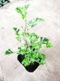 【ハーブ】アップルゼラニウム葉をこするとあまいリンゴの香り♪白地に赤い斑が入ったお花です!アップルゼラニウム 3号ポット 【センテッドゼラニウム】