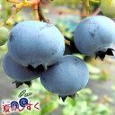 7月初旬より出荷開始和歌山県産高糖度ブルーベリー