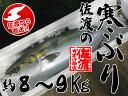 【佐渡】佐渡の寒ぶり【約8〜9Kg】...