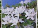 ミヤマキリシマ『白妙』4997 F 商品画像の見本の画像は2017年8月22日撮影です。昨年の挿し木