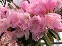 八重咲日本シャクナゲ『立山桜』R487、2016年9月中旬蕾着きです。