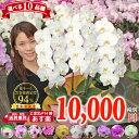 胡蝶蘭3本立ち【10品種の中からお選び頂けます】あす楽対応 各種ギフト・プレゼントに