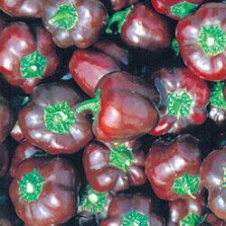ミニパプリカ チョコ(種)