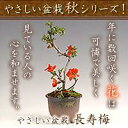 やさしい盆栽秋シリーズとても縁起の良い大人気の盆栽【ポイント5倍】やさしい盆栽 長寿梅