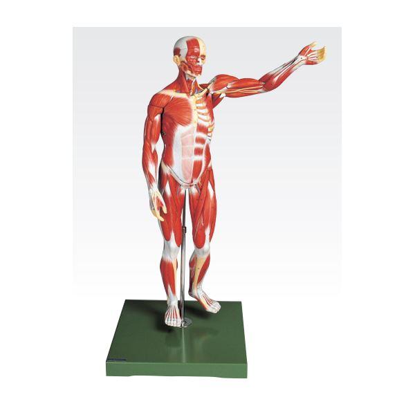【送料無料】人体解剖模型 〔男性/27分解〕 塩化ビニール製 台付き J-111-2【代引不可】