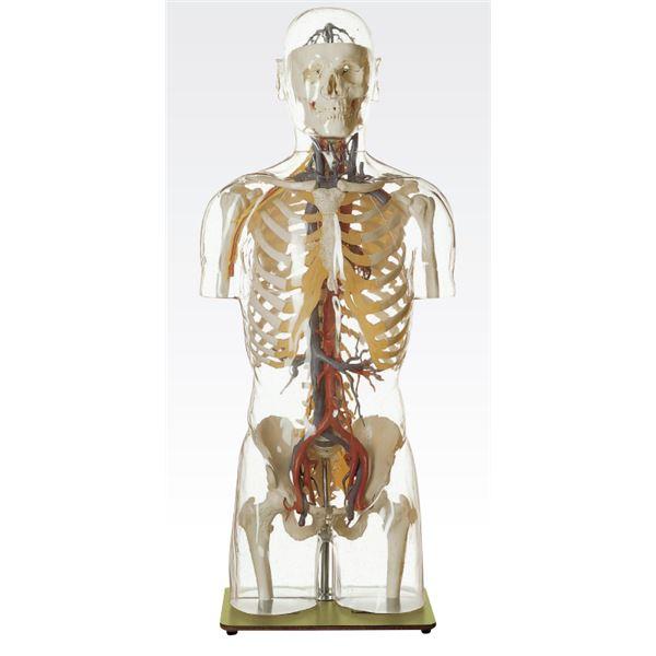 【送料無料】透明トルソ/人体解剖模型 〔循環器人体モデル〕 等身大 1体型モデル J-113-5【代引不可】