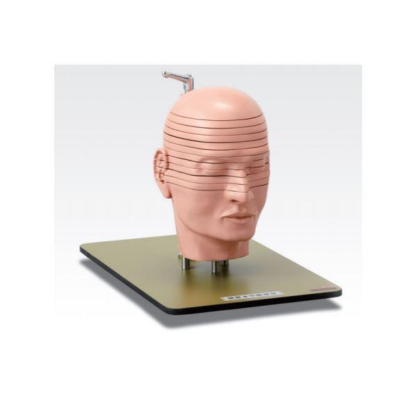 【送料無料】頭部水平断模型/人体解剖模型 〔12分解〕 J-118-0【代引不可】
