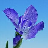 四季折々の花を春夏秋冬の装飾品として楽しめます。【シルクフラワー】あやめ こどもの日の装飾【領収書発行】【あす楽対応東北】【あす楽対応関東】【あす楽対応甲信越】【あす楽対応北陸】【