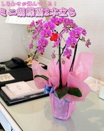 ミディ(ミニ)胡蝶蘭(2本立ちピンク系)【あす楽対応】【gift_d18】MOTHER'SDAY