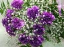 紫カーネション『ムーンダスト・カスミ草』の花束 母の日 //早割