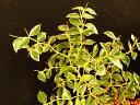 斑入り アリドオシ 白覆輪 良苗(20cm前後株張)珍品 山野草 鉢植 地植え 宿根草 斑入 花木