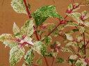 斑入 ムラサキシキブ 紫々紫(シジムラサキ) 白散 新梢 紫紅染 枝打小上苗20〜25cm