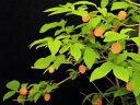 黄実(青軸 白花)ウグイスカグラ枝打小上苗25cm前後