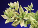 斑入オオムラサキ(ツツジ)乳白散 枝打中苗 葉イタミ有