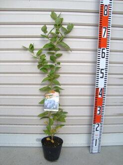 [鋒利的藍色] [果樹苗、 種苗南部藍莓系列、 藍莓