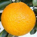 【スイートスプリング】※3月中旬以降発送予定※1年生接木苗[果樹苗木・柑橘・かんきつ]