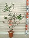 【サウスオーストラリアベルダル】3年生苗 6号鉢オリーブT[花木苗木・常緑樹・庭木]