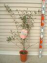 【サウスオーストラリアベルダル】3年生苗 5号鉢オリーブT[花木苗木・常緑樹・庭木]