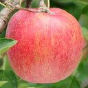 【シナノスイート】1年生接木苗リンゴ[果樹苗木・林檎・りんご]