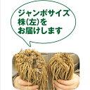アスパラガス特大株苗 健康野菜♪【裸苗】