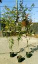イロハモミジ 単木 樹高1.8m前後 ポット苗