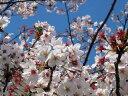 ソメイヨシノ樹高2.0m前後 日本の代表的な桜 染井吉野【あす楽対応_九州】