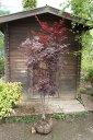 ノムラモミジ樹高1.5m前後 株立ち【赤モミジ/紅葉】【あす楽対応_九州】