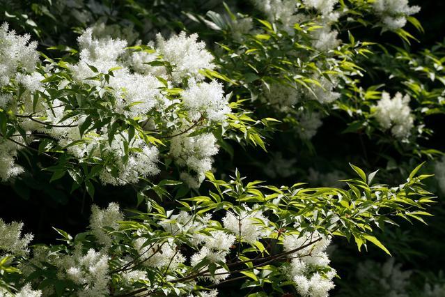 アオダモ(株立ち)樹高2.0m【雑木林】【落葉樹】【あす楽対応_九州】 雑木林を生かした自然風のお庭の演出に♪