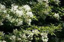 アオダモ(単木)樹高1.2m【雑木林】【落葉樹】【あす楽対応_九州】