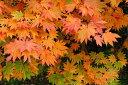【紅葉が美しい】コハウチワカエデ(小葉団扇楓)樹高1.8〜2.0m前後【株立ち】【落葉高木】【あす楽対応_九州】